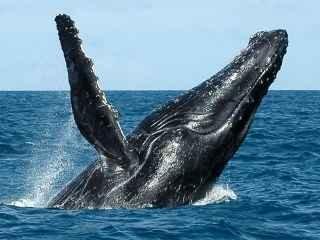 baleia-jubarte-cumuruxatiba-bahia.jpg